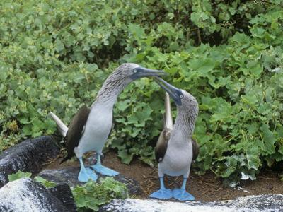 Blue-Footed Boobies Courtship Display, Sula Nebouxi, Galapagos