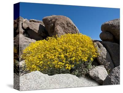 Brittlebush (Encelia Farinosa), Joshua Tree National Park, Mojave Desert, California, USA