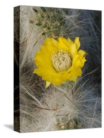 Cactus (Tephrocactus Floccosus), Peru