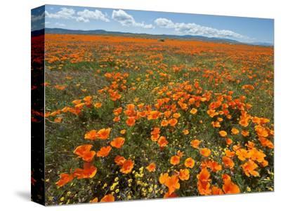 California Poppy (Eschscholzia Californica), Antelope Valley Poppy Reserve Near Lancaster
