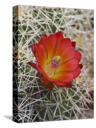 Claret Cup Cactus Flower (Echinocereus Triglochidiatus Melanacanthus), Capitol Reef National Park