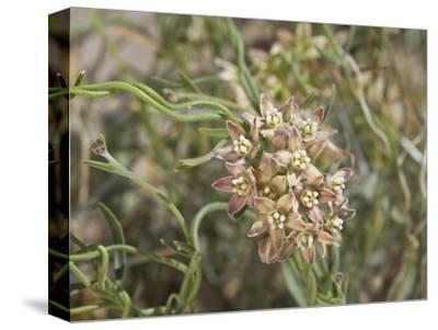 Climbing Milkweed (Sarcostemma Cynanchoides Hartwegii), Joshua Tree National Park, Mojave Desert