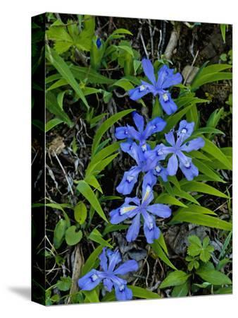 Dwarf Crested Iris (Iris Cristata), Great Smoky Mountains National Park, Tennessee