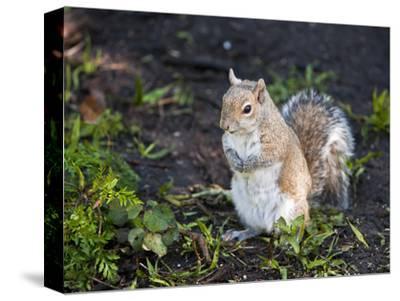Eastern Gray Squirrel (Sciurus Carolinensis), Corkscrew Swamp Reserve, Audubon Sanctuary, Florida