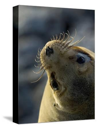 Galapagos Sea Lion, Zalophus Califoranius Wollebekii, South Plaza Island, Galapagos Islands