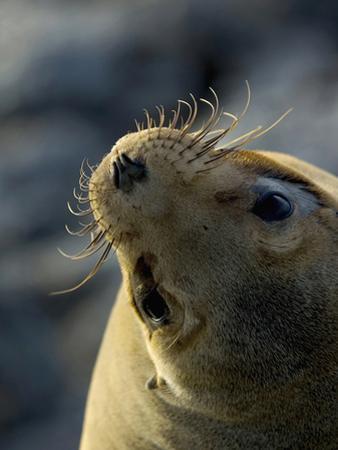 Galapagos Sea Lion, Zalophus Califoranius Wollebekii, South Plaza Island, Galapagos Islands by Gerald & Buff Corsi