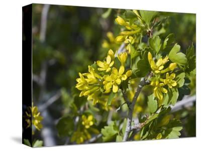 Golden Currant (Ribes Aureum) Snake Creek Valley, Great Basin National Park, Nevada, USA