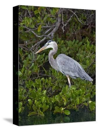 Great Blue Heron (Ardea Herodias), Isabela Island, Galapagos Islands