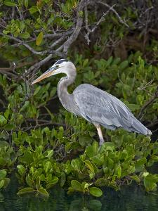 Great Blue Heron (Ardea Herodias), Isabela Island, Galapagos Islands by Gerald & Buff Corsi