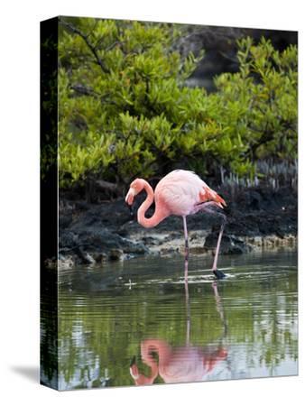 Greater Flamingo (Phoenicopterus Ruber) Santa Cruz Island, Indefatigable Island, Galapagos Islands