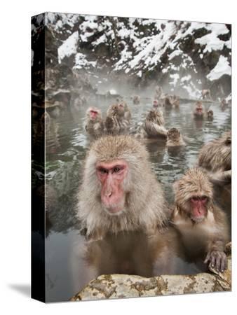 Japanese Macaque or Snow Monkeys (Macaca Fuscata) with Young in a Hot Spring, Jigokudani Park