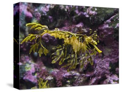 Leafy Sea Dragon (Phycodurus Eques), Western Australia, Pacific Ocean