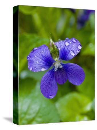 Marsh Blue Violet (Violcucullata)