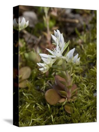 Mountain Stonecrop (Sedum Ternatum), Great Smoky Mountains National Park,  Family Crassulaceae
