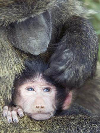 Olive Baboon and its Young Being Groomed, Papio Anubis, Lake Nakuru National Park, Kenya, Africa