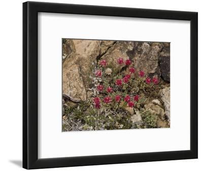 Raspberry Buckwheat or White Mountain Buckwheat (Eriogonum Gracilipes)