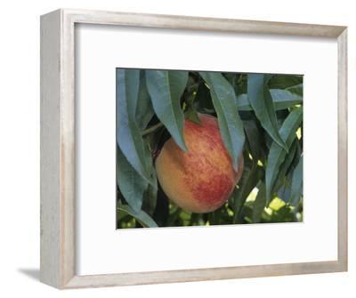 Red Haven Peach, Prunus Persica, Growing on Tree