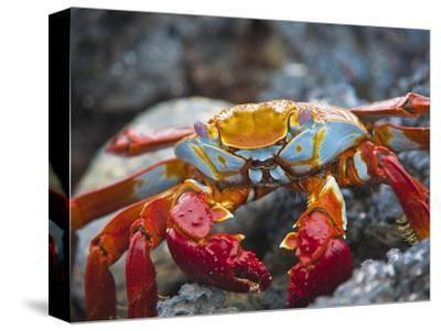 Sally Lightfoot Crab (Grapsus Grapsus), Playa Las Bachas, Santa Cruz Island, Galapagos Islands