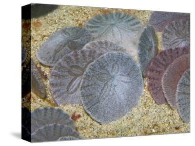 Sand Dollars in the Sandy Ocean Floor (Dendraster Excentricus), California, USA