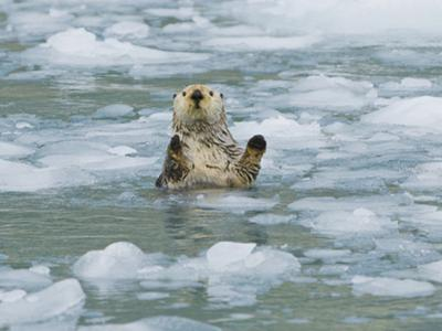 Sea Otter in Icy Water, Enhydra Lutris, Prince William Sound, Alaska, USA, Pacific Ocean