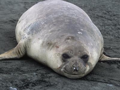 Southern Elephant Seal, Mirounga Leonina, South Georgia Islands, Antarctic Region by Gerald & Buff Corsi