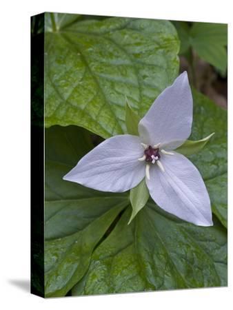 Sweet White Trillium Flower (Trillium Simile), Great Smoky Mountains National Park, Tennessee, USA