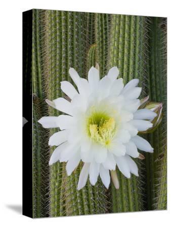 Torch Cactus (Trichocereus Spachianus), Argentina