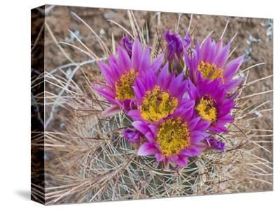 Whipple's Fishhook Cactus (Sclerocactus Whipplei), Capitol Reef National Park, Utah, USA