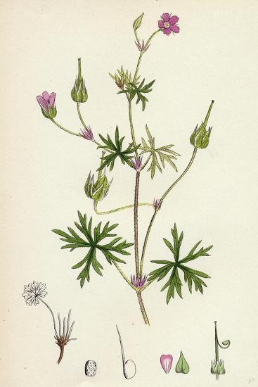 Geranium Columbinum Long-Stalked Crane'S-Bill--Giclee Print