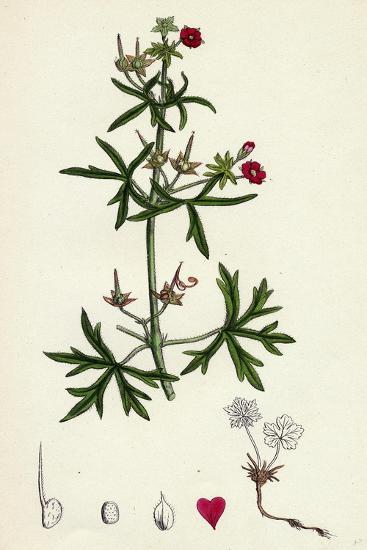 Geranium Dissectum Jagged Leaved Crane's-Bill--Giclee Print
