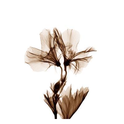 Geranium in Sienna-Albert Koetsier-Art Print