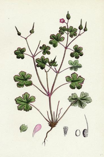 Geranium Lucidum Shining Crane's-Bill--Giclee Print