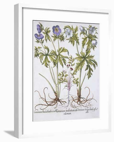 Geranium Muscatum-Basilius Besler-Framed Giclee Print