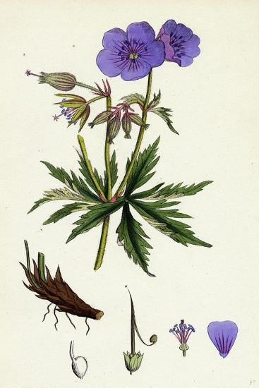 Geranium Pratense Blue Meadow Crane's-Bill--Giclee Print