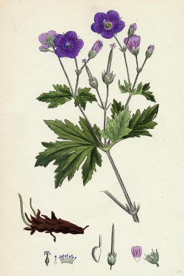 Geranium Sylvaticum Wood Crane's-Bill--Giclee Print