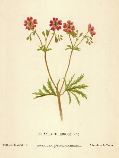 Geranium Tuberosum-Hulton Archive-Photographic Print