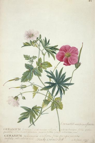Geranium. Two Intertwined Stems of Different Species, 1767-Georg Dionysius Ehret-Giclee Print