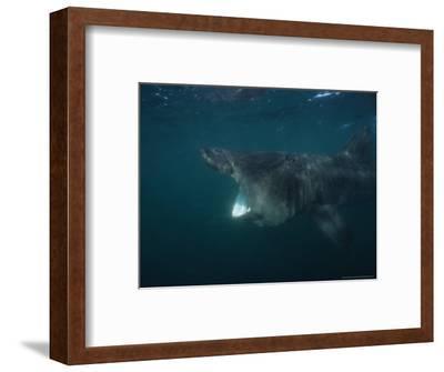 Basking Shark, Feeding on Plankton, UK