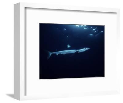 Blue Shark, Swimming, USA