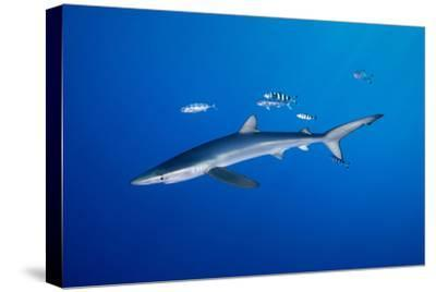BLUE SHARK WITH PILOT FISHES