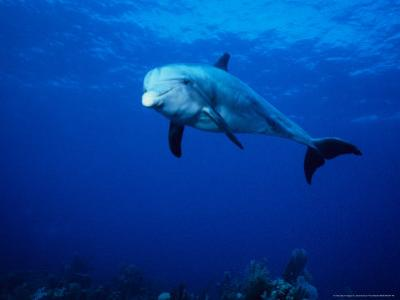 Bottlenose Dolphin, Underwater, Providenciales