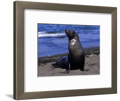 Californian Sea Lion, Adult