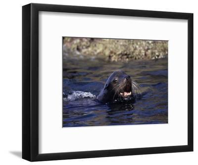 Californian Sea Lion, Threatening, Baja California