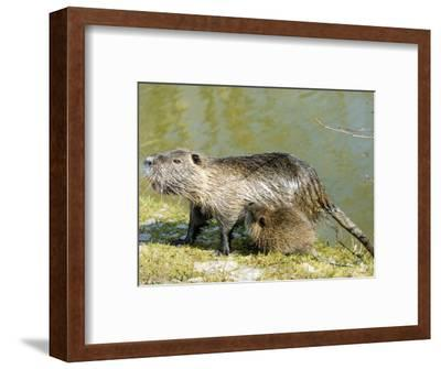 Coypu or Nutria, Female with Young Suckling, France