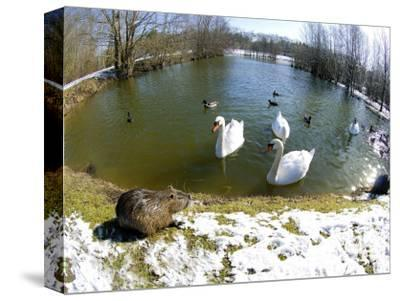 Coypu or Nutria, Lakeside with Swans, France