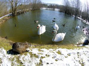 Coypu or Nutria, Lakeside with Swans, France by Gerard Soury
