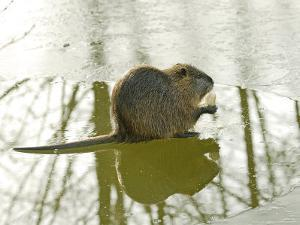 Coypu or Nutria on Frozen River Feeding, France by Gerard Soury