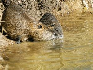 Coypu or Nutria, Pair on Riverbank, France by Gerard Soury