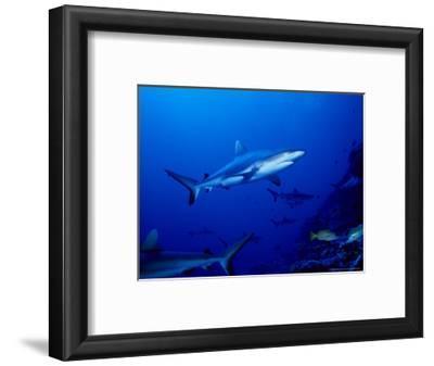 Dagsit Shark, Swimming, Polynesia