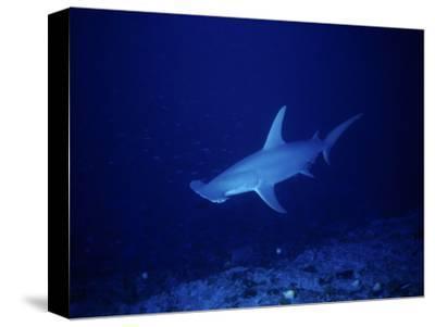 Great Hammerhead Shark, Rangiroa, Polynesia